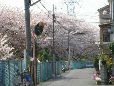 スーパー近くの大桜