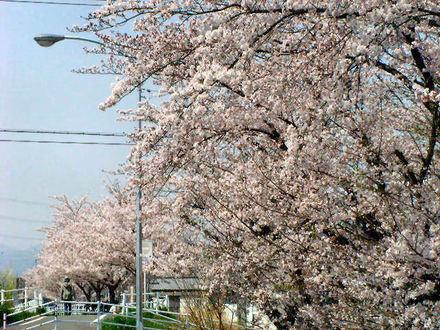 スーパーの桜と堤防の桜
