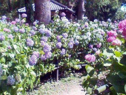 第一紫陽花苑 その1