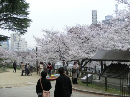 入ったところの桜が満開