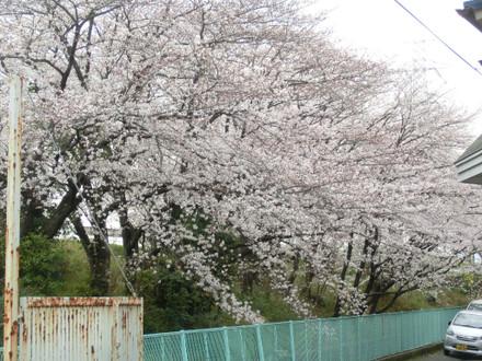 裏から見たスーパーの桜