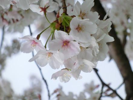 桜の花アップ