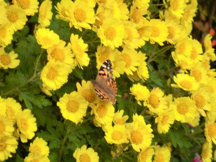 菊にとまる蝶