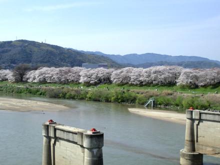 背割の桜 遠景