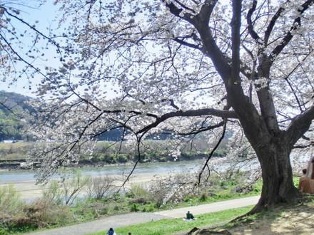 木津川と桜