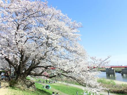 桜と木津川と御幸橋