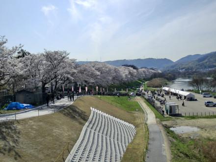 宇治川側からの背割の桜