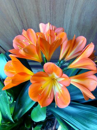 クンシラン 花が付いている部分のアップ