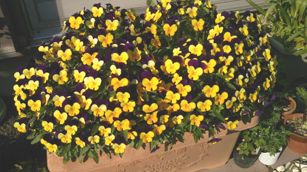 パンジー 黄と紫