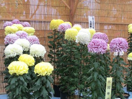 国華園賞受賞の大菊三本立て盆養 五鉢組