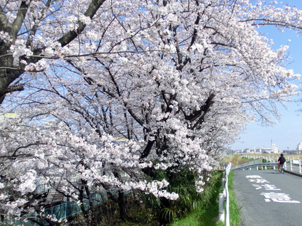 桜とその脇を進む人