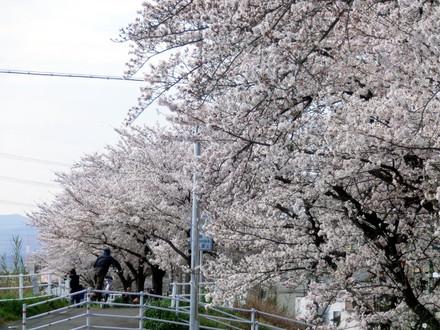 連なって一つの桜の塊に