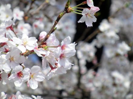 桜の花の塊 アップ