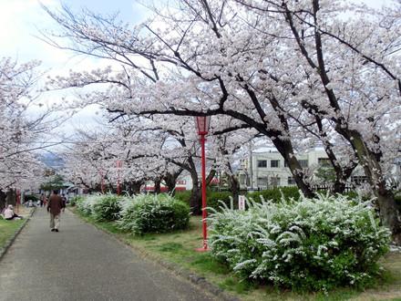 桜と人と雪柳