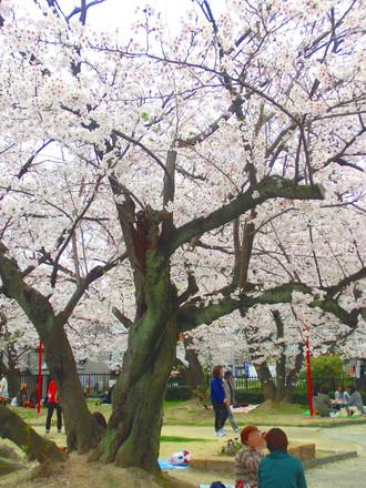 うねる桜の大木の幹