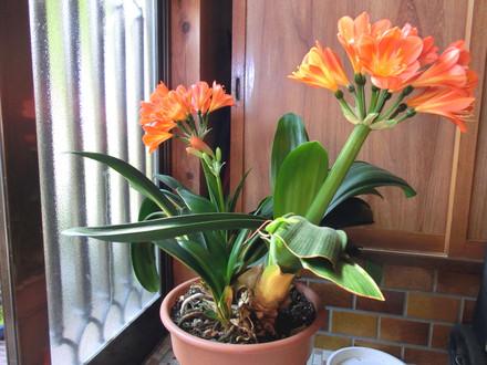 花をつけたクンシラン2株