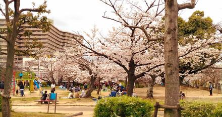 公園の桜 昼