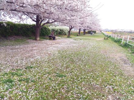 堤防脇のスペースを覆い尽くすような花びら