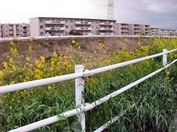 柵沿いに咲く菜の花