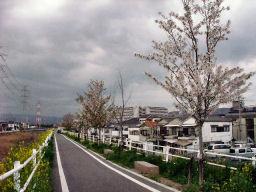 自転車道の桜並木