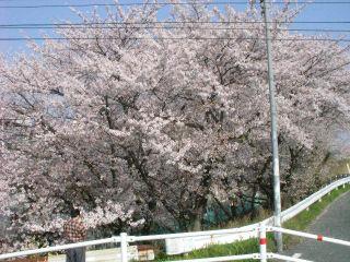 近所の大きな桜