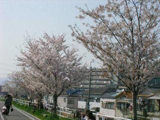 自転車道に咲く桜 その1