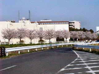 自転車道に咲く桜 その2