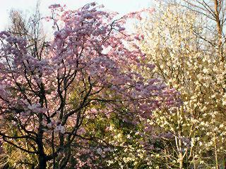 桜と(たぶん)モクレン