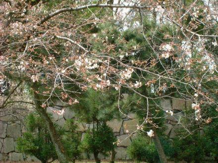 桜はちらほら咲き