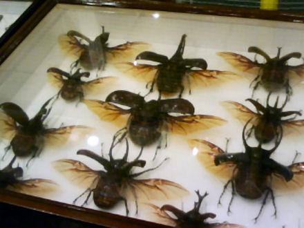 カブトムシの標本 その1