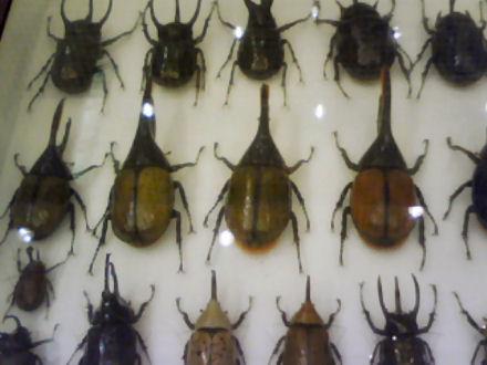 カブトムシの標本 その2