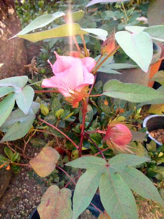綿の花と実