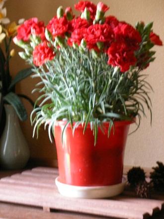 赤カーネーションの鉢植え