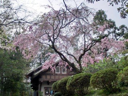 レストハウスと桜