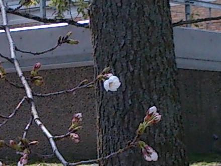 わずかな数だけ開いた桜