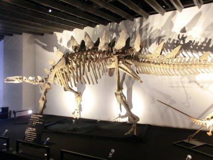 ステゴザウルス類の骨格標本