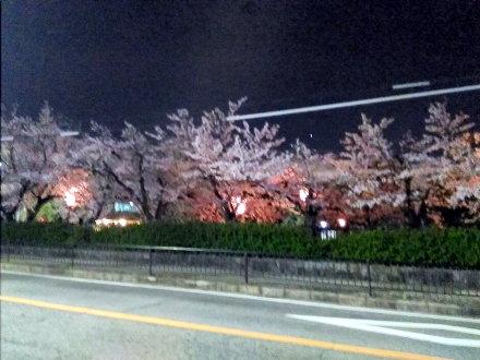 公園の桜 夜